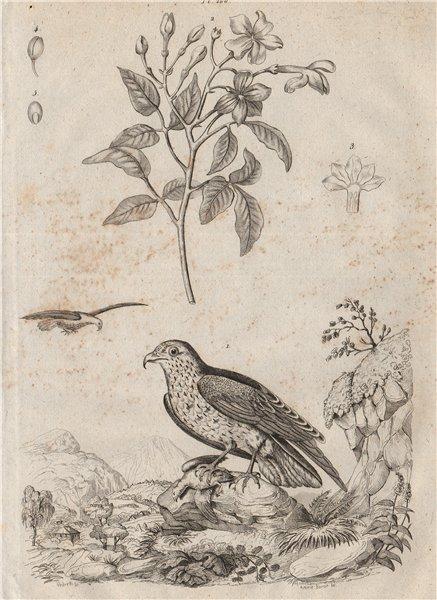 Associate Product INDRE. Jean Leblanc (Short-toed Snake Eagle). Jasmin (Jasmine) 1834 old print