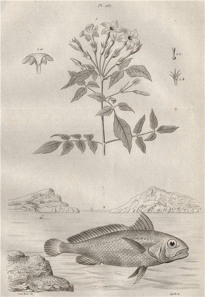 Associate Product FISH/PLANTS. Jasmin (Jasmine). Johnius (Croaker) 1834 old antique print