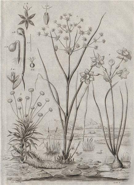 Associate Product Juncus (rushes). Eriocaulon (pipewort). Joncinelle. Jonquille (Daffodil) 1834