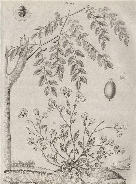 Associate Product Jujubier (Jujube tree). Julienne (Hesperis matronalis - dame rocket) 1834