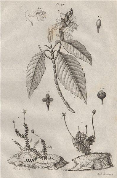 Associate Product PLANTS. Jungermanniales (Liverworts). Justicia 1834 old antique print picture