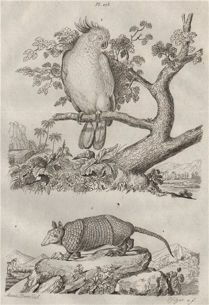 Associate Product Kabassou (Cabassous armadillo). Kakatoes (Cockatoo). Yellow/Suplhur crested 1834