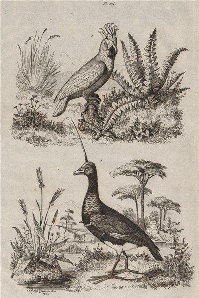 Associate Product Kakatoes (White crested Cockatoo). Kamichi (Southern Screamer); head spike 1834