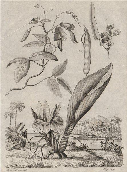 PLANTS. Kenedies (Kennedia). Kempferie (Kaempferia) 1834 old antique print