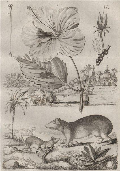 Associate Product Kermes oak. Kerodon rodent. Ketmie (Hibiscus) 1834 old antique print picture