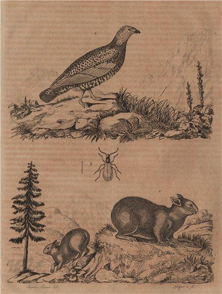 Associate Product Lagomys (Pika). Lagopède (Ptarmigan). Lagria hirta 1834 old antique print