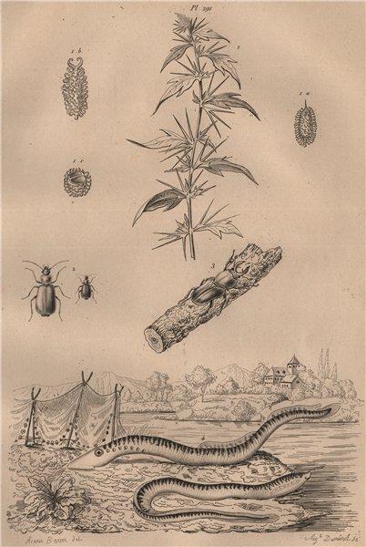 Associate Product Lampourde/cocklebur.Lamprias.Lamprima oenea/Cuvier beetle.Lamproies/Lamprey 1834