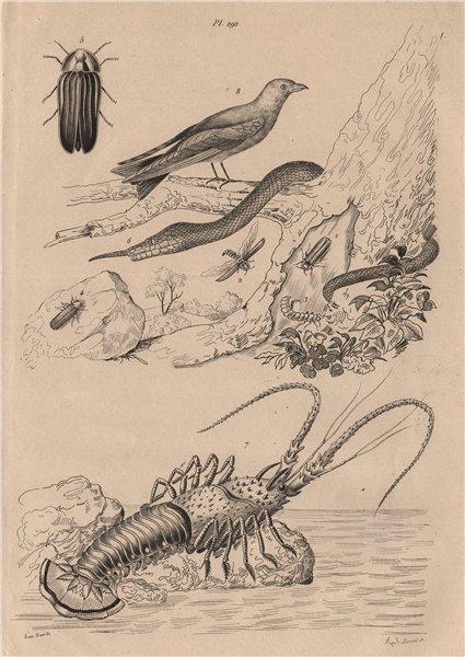 Associate Product Lampyris (firefly). Langaha snake. Langouste (Spiny lobster). Woodswallow 1834