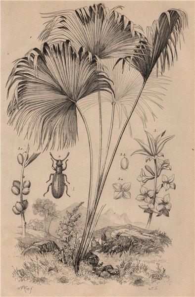 Associate Product Latania (Red Latan Palm). Latridius beetle. Lauréole (Laurel) 1834 old print
