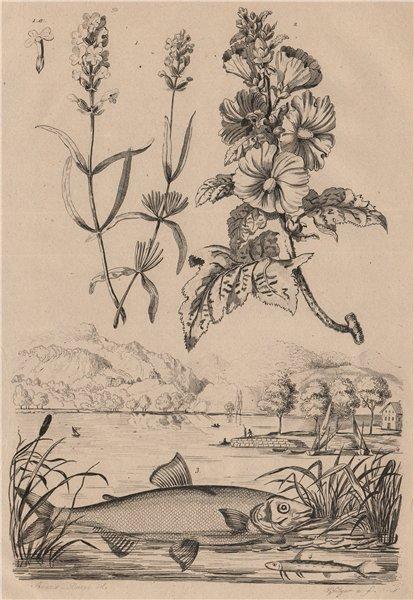 Associate Product Lavande (Lavender). Lavatera (tree mallows). Lavarets (Whitefish) 1834 print