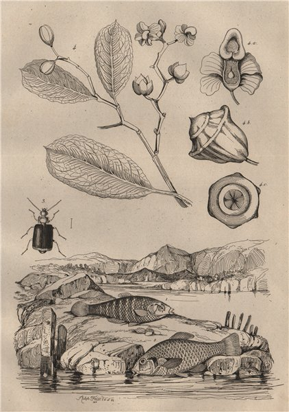Associate Product Lebias fish. Lebia Grandis (Ground Beetle). Lecythis plant 1834 old print