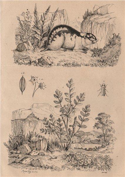 Associate Product Ledum (Labrador Tea). Ledra (Leafhopper). Lemming 1834 old antique print
