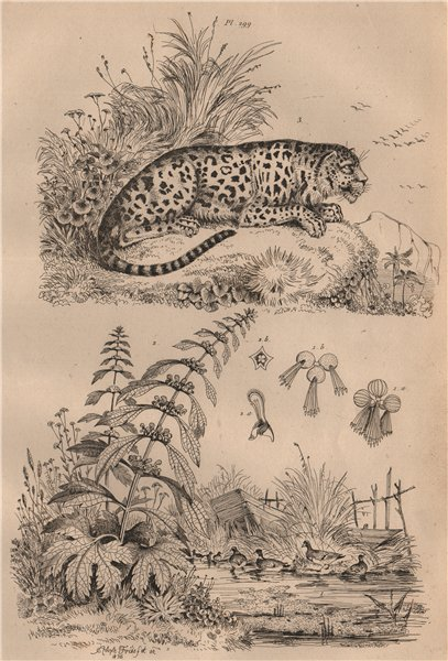 Associate Product LEOPARDS. Lenticule (duckweed). Leonotis leonurus (lion's tail). Leopard 1834