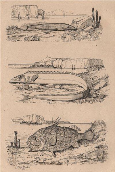 Associate Product Clingfish.Lepidopus/silver scabbardfish.Monocentris/pinecone/pineapple fish 1834