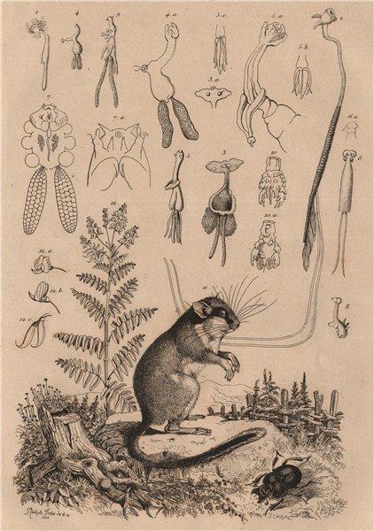 Associate Product Lernées. Lerot (Garden Dormouse). Lessertia. Lethre 1834 old antique print