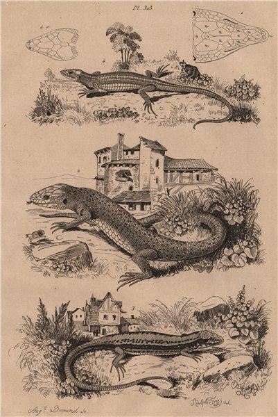 Associate Product European green lizard. Common wall lizard. Viviparous Lizard 1834 old print