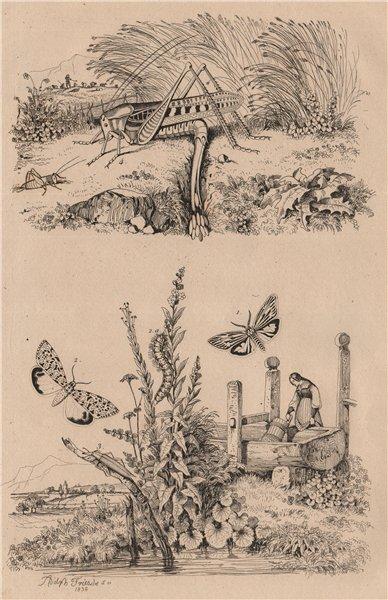 Associate Product INSECTS. Lithosia butterflies. Lixe (LIX). Locuste (Locust) 1834 old print
