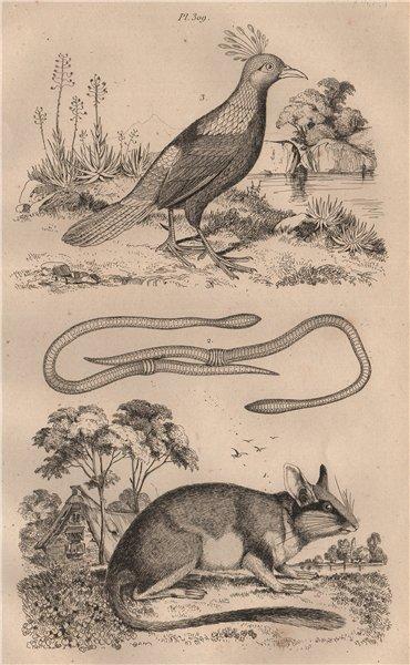 Associate Product Loir (Dormouse). Lombric (Earthworm). Lophophorus (Himalayan Mona monkey) 1834