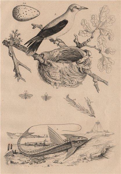 Associate Product Pine saw-fly. Loricaria Catfish. Eurasian Golden Oriole. Nest. egg 1834 print