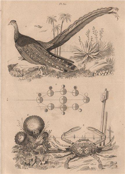 Associate Product Argus. Portunus pelagicus(blue swimmer crab). Lycoperdon(puffball mushroom) 1834