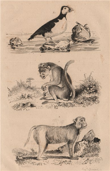 Associate Product Chinese Bonnet Macaque. Rhesus Macaque. Macareux (Puffin) 1834 old print