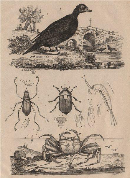 Associate Product Machilidae. Macraspis & water beetles. Scoter. Telescope-eyed ghost crab 1834