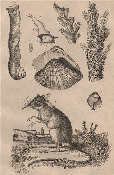 Shrew. Anodonta anatina/duck mussel. Madrepore stony coral.Magilus antiquus 1834