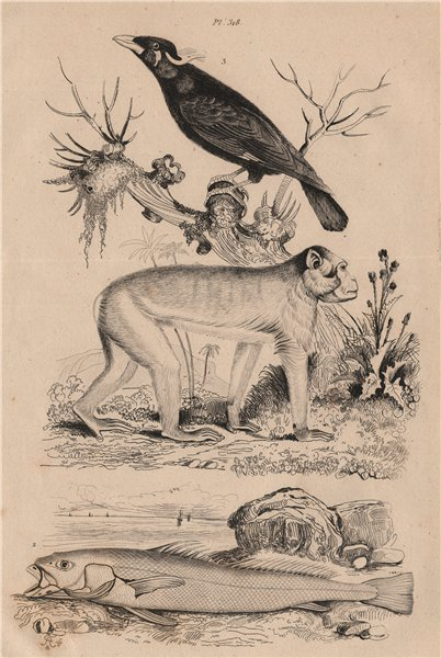 Associate Product Magot (Barbary Macaque). Maigre (Meagre or shade-fish). Mainate (Mynah) 1834