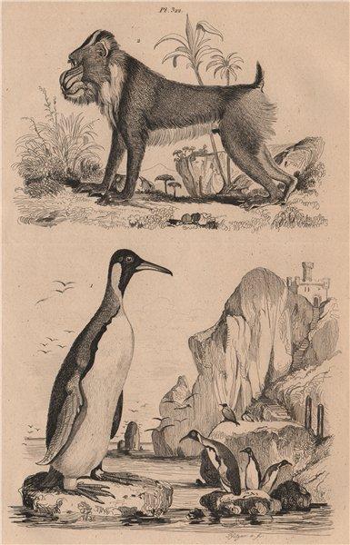 Associate Product PRIMATES/BIRDS. Manchot (Penguin). Mandrill 1834 old antique print picture