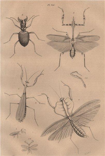Associate Product Mante (mantis). Manticora (tiger beetle). Mantispidae (mantis flies) 1834