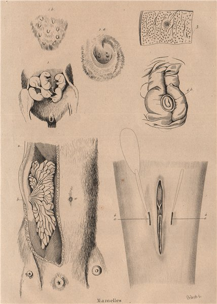 Associate Product BREASTS. of the Opossum Platypus Echidna Dolphin 1834 old antique print