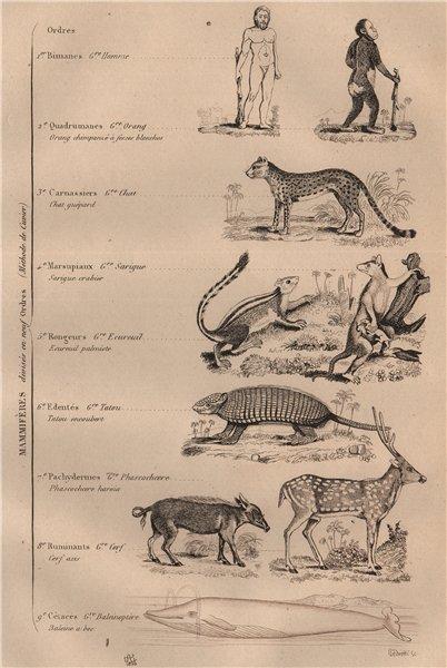Associate Product MAMMAL KINGDOM. Mammalogie. 9 orders. Classification 1834 old antique print
