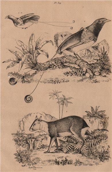 Associate Product BIRDS/RODENTS. Manucode (King Bird of Paradise). Mara 1834 old antique print