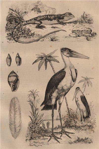 Marabou Stork. Marbré (Marbled newt). Marginella 1834 old antique print