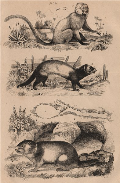 Associate Product Marikina (Golden Lion Tamarin). Marmot. European polecat (Mustela putorius) 1834