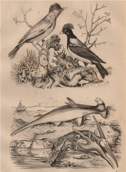 Associate Product Marteau (Hammerhead shark). Isognomon. Martin birds 1834 old antique print