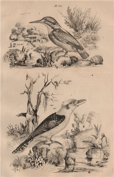 KINGFISHERS. Martin Pêcheur. Eurasian Kingfisher. Laughing Kookaburra 1834
