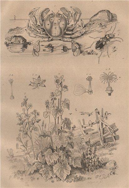 Associate Product Matutidae (moon crab). Malva sylvestris (Mallow). Cicindela (tiger beetle) 1834