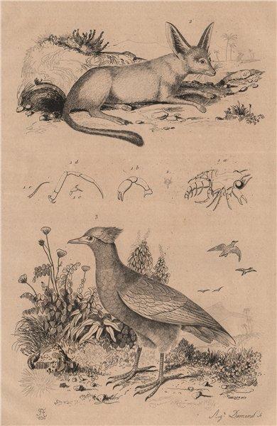 Associate Product Megalopal. Mégalotis (Bat-Eared Fox). Megapode (orange-footed scrubfowl) 1834