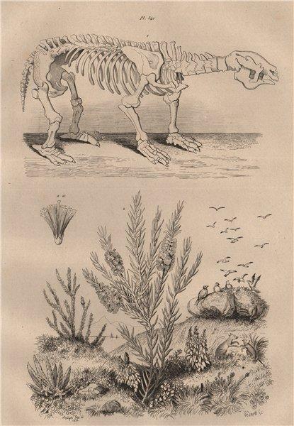 Associate Product Megatherium. Melaleuca alternifolia (narrow-leaved Tea-Tree) 1834 old print