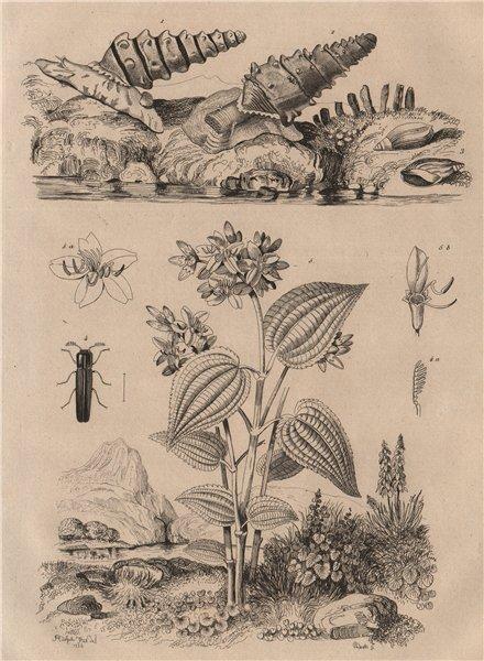 Associate Product Melania snail.Melanopside buccinoide.Melasidae/false click beetle.Melastoma 1834