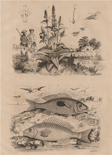 Associate Product Mendoles (African sicklefish Spadefishes Percoids). Menthe (Mint) 1834 print