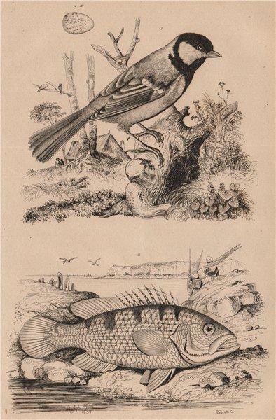 Associate Product Mesange Charbonnière (Great Tit). Mésoprion John (John's Snapper) 1834 print