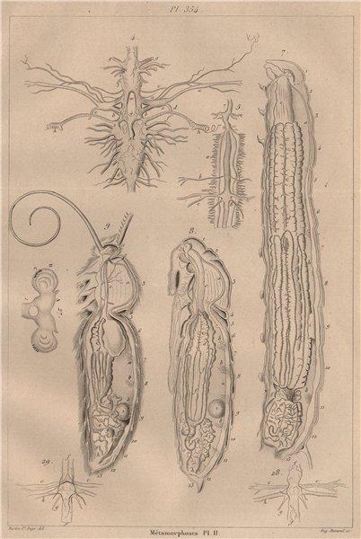 Associate Product LEPIDOPTERA. Métamorphoses. Metamorphosis. Pl. II 1834 old antique print