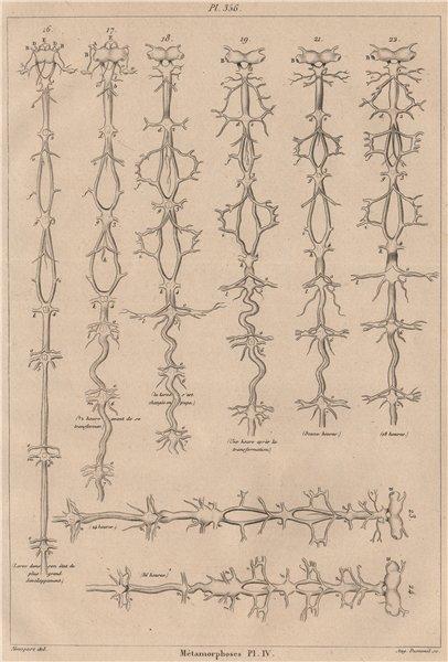 Associate Product INSECTS. Métamorphoses. Metamorphosis. Pl. IV 1834 old antique print picture