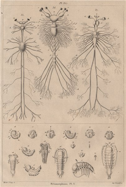 Associate Product INSECTS. Métamorphoses. Metamorphosis Pl. V 1834 old antique print picture