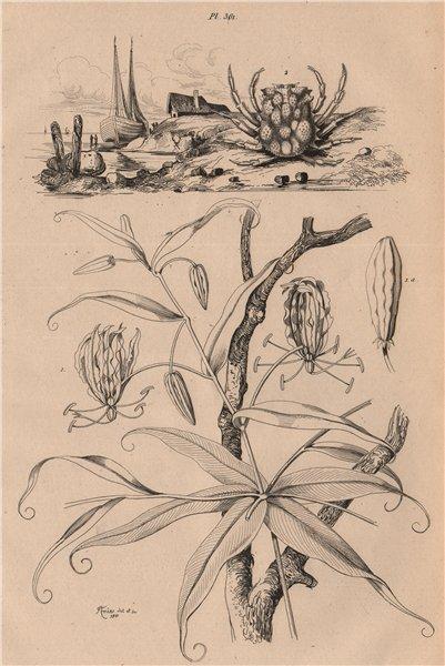 Associate Product Méthonique (Gloriosa Superba). Micippa cristata (Spider Crab) 1834 old print