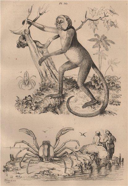 Associate Product Green Huntsman spider. Mictyris(Soldier crab).Muriqui(woolly spider monkey) 1834