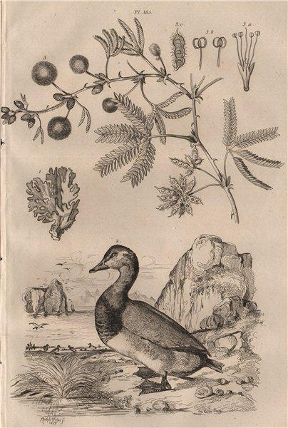 Associate Product Millépore (Fire Coral). Milouin (Pochard Duck). Mimeuse (Mimosa) 1834 print