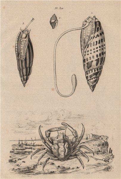 CRUSTACEANS. Mithrax crab. Mithraculus. Mitra Mitra (Episcopal miter) 1834